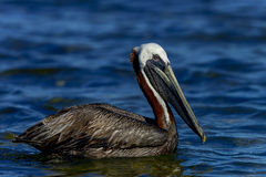 Brown pelican, florida keys Royalty Free Stock Photo