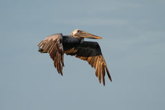 Brown pelican fly over sea Stock Image