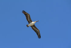 Brown Pelican Flying Royalty Free Stock Photo