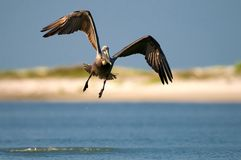 Brown pelican flying. A view of a brown pelican in midair flight over a blue Florida lagoon.  Species: Pelecanus occidentalis Royalty Free Stock Photos