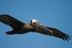 Brown Pelican Flying Royalty Free Stock Photos
