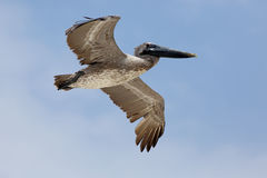Brown Pelican flying above with a blue sky Royalty Free Stock Images