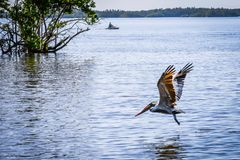 A Brown Pelican flying around in Miami, Florida stock image