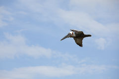 Brown Pelican flying in blue sky Royalty Free Stock Images