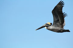 Brown pelican flying in a blue sky over Florida. Royalty Free Stock Photography
