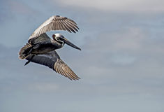 A Brown Pelican flying in a blue sky. Stock Image