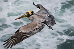 Brown Pelican Flying, California stock photography