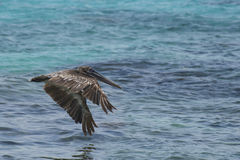 A Brown Pelican Flying Royalty Free Stock Image