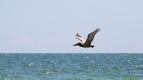 Brown Pelican Flying, J.N. ''Ding'' Darling National Wildlife Re Stock Photo