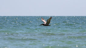 Brown Pelican Flying, J.N. ''Ding'' Darling National Wildlife Re Royalty Free Stock Photo