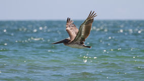 Brown Pelican Flying, J.N. ''Ding'' Darling National Wildlife Re Stock Photos