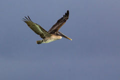 Brown Pelican Flying. A brown pelican (latin Pelecanus occidentalis) in flight against a blue sky Royalty Free Stock Photo