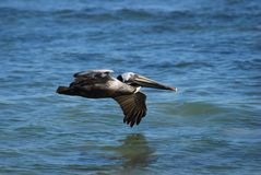 Brown Pelican flying low over water Stock Photography