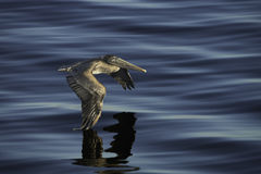 Brown Pelican flying Royalty Free Stock Photography