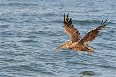 Brown Pelican Flying in Morning Light Stock Photos