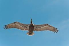 Brown Pelican flying Stock Photos