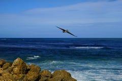 Brown pelican flying over deep blue water of Atlantic Ocean towards shore Stock Image