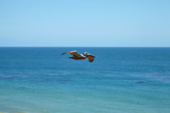 Brown pelican flying over the ocean Stock Photography
