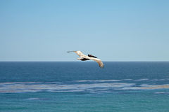 Brown pelican flying over the ocean Royalty Free Stock Image