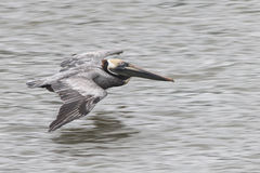 Brown Pelican Flying. Over ocean water stock photography