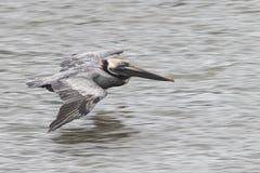 Brown Pelican Flying. Over ocean water Stock Photography