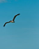 Brown  pelican flying over a tropical seashore Royalty Free Stock Photo