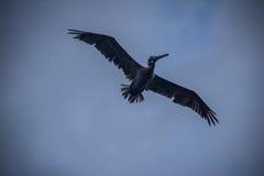 Brown pelican flying - Panama City, Panama Stock Photography