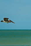 Brown  pelican flying on a tropical seashore Royalty Free Stock Photos