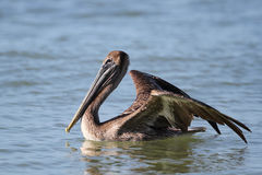 Brown Pelican - Fort Myers Beach, Florida. Immature Brown Pelican (Pelecanus occidentalis) Preparing to Take Flight From the Ocean - Fort Myers Beach, Florida Royalty Free Stock Images
