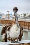 Brown Pelican on the Ft Myers Pier. A brown pelican on the Fort Myers Beach pier posing for photographs and free bait.  Photography by Edward M. Fielding - www Stock Photos