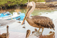 Brown Pelican in the Galapagos Royalty Free Stock Photography