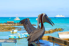 Brown Pelican in the Galapagos Stock Image