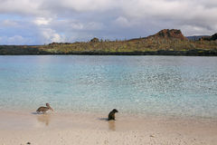 Brown pelican and Galapagos sea lion on the beach of Chinese Hat. Island in Galapagos National Park, Ecuador Stock Images