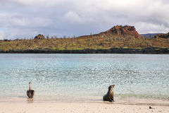 Brown pelican and Galapagos sea lion on the beach of Chinese Hat. Island in Galapagos National Park, Ecuador Stock Photos