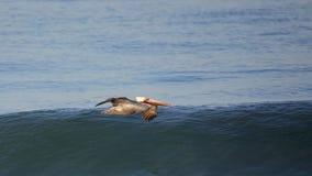 Brown pelican glides over a calm blue ocean. One pelican glides over a calm blue ocean Stock Photo