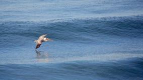 Brown pelican glides over a calm blue ocean. One pelican glides over a calm blue ocean Stock Photography