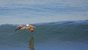 Brown pelican glides over a calm blue ocean. One pelican glides over a calm blue ocean Stock Images