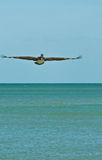 Brown pelican gliding for a landing Stock Images