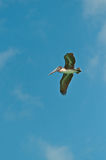 Brown pelican gliding on tropical wind in the Gulf of Mexico Stock Photo