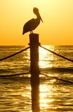 Brown Pelican in Golden Sunset Royalty Free Stock Photos