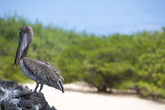 Brown pelican with green background, Galapagos, Ecuador. Royalty Free Stock Photography