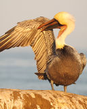 Brown Pelican Grooming Under Wing Royalty Free Stock Images