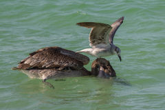 Brown pelican and gull scavenging. Gull attempting to steal fish from a brown pelican with head in water Stock Photo