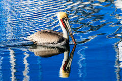 Brown Pelican in Harbor Royalty Free Stock Photos