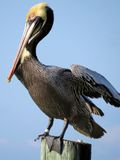 Brown Pelican. Harbor Islamorada Keys Florida Stock Photos