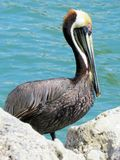 Brown Pelican. Harbor Islamorada Keys Florida Royalty Free Stock Images