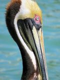 Brown Pelican. Harbor Islamorada Keys Florida Royalty Free Stock Photography