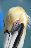 Brown pelican head. Portrait of a mature adult Brown Pelican (Pelecanus occidentalis).  Taken in the Florida Keys Stock Photo