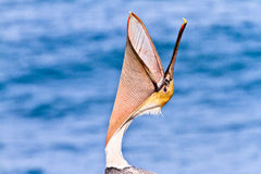 Brown Pelican Head Throw royalty free stock photo