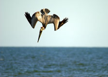 Brown pelican on the hunt Stock Image